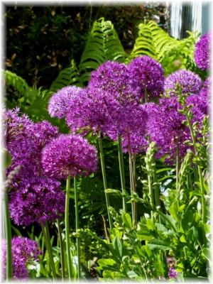 in focus allium aflatunense purple sensation. Black Bedroom Furniture Sets. Home Design Ideas